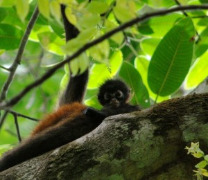 Spider Monkey sighting in Corcovado National Park Costa Rica