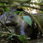 Tapir in Corcovado National Park Costa Rica